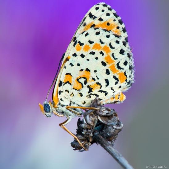 Farfalla-002